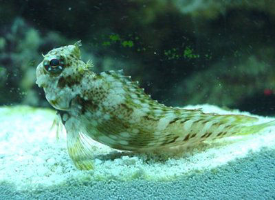 Picture of a Lawnmower Blenny, Jeweled Blenny, Algae Blenny, or Jeweled Rockskipper