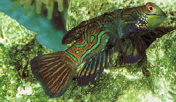 Picture of a Mandarinfish