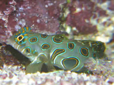 Picture of a Spotted Mandarin or Psychedelic Fish