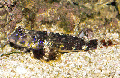 Picture of a Scooter Blenny, Ocelatted Dragonet, or Scooter Dragonet