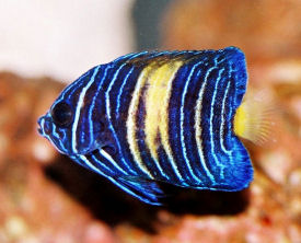 Picture of a juvenile Arabian Angelfish