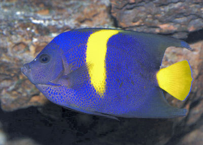 Arabian Angelfish Pomacanthus asfur, Asfur Angelfish, Crescent Angelfish, Half Moon Angelfish