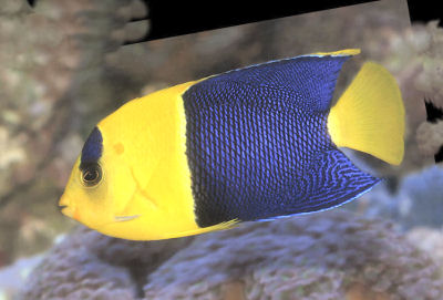 Bicolor Angelfish Centropyge bicolor, Two-colored Angelfish, Blue and Gold Angelfish, Oriole Angelfish