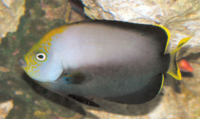 Black Velvet Angelfish, Grey Poma Angelfish, Chaetodontoplus melanosoma