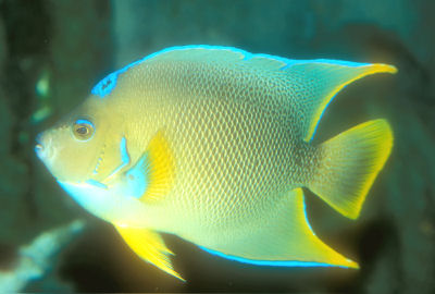 Blue Angelfish Holacanthus bermudensis x Queen Angelfish Holacanthus ciliaris, Hybrid