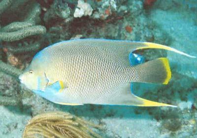 Blue Angelfish, Holacanthus bermudensis, Bermuda Blue Angelfish, Blue Angel, Corn Sugar Angelfish