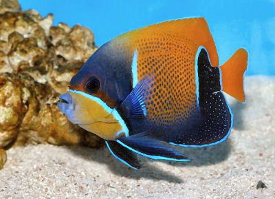Family Pomacanthidae Blue Girdled Angelfish Pomacanthus Navarchus Majestic