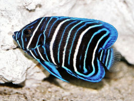 Blue-faced Angelfish, Pomacanthus xanthometopon - Picture of a juvenile