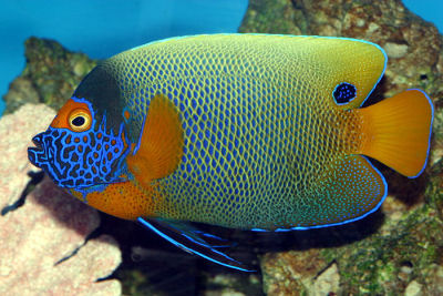 Blue-faced Angelfish Pomacanthus xanthometopon, Yellow-faced Angelfish, Yellow Mask Angelfish