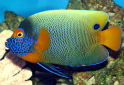 Click for more info on Blue-faced Angelfish
