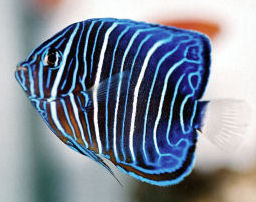 Picture of a juvenile Blue-ringed Angelfish