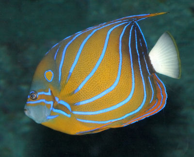 Blue Ring Angelfish, Pomacanthus annularis, Blue-ringed Angelfish