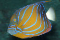 Click for more info on Blue Ring Angelfish