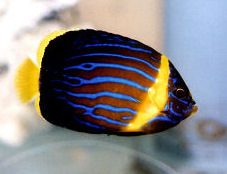 Blue-striped Angelfish, juvenile