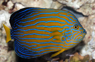 Blue-striped Angelfish, Blueline Angelfish, Blue-lined Angelfish, Chaetodontoplus septentrionalis