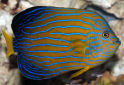 Click for more info on Blue-striped Angelfish