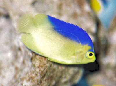 Colin's Pygmy Angelfish, Centropyge colini, Colin's Angelfish, Cocos-Keeling Angelfish