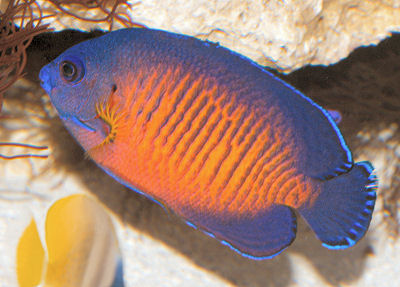 Coral Beauty, Centropyge bispinosus, Coral Beauty Angelfish, Twospined Angelfish, Dusky Angelfish