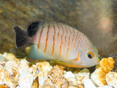 Eible's Angelfish, Centropyge eibli, Red Stripe Angelfish, Blacktail Angelfish