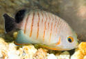 Click for more info on Eibli's Angelfish