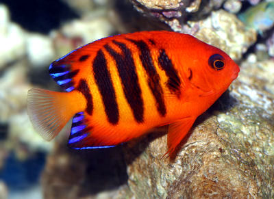 Flame Angelfish,Centropyge loriculus, Flame Angel, Dwarf Flame Angelfish