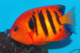 Flame Angelfish,Centropyge loriculus - Picture