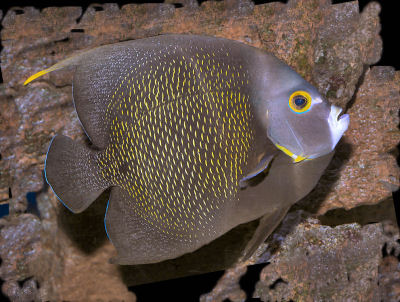 French Angelfish, Pomacanthus paru (adult)