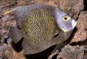 French Angelfish Fact Sheet