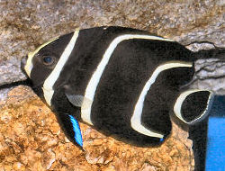 Picture of a juvenile French Angelfish