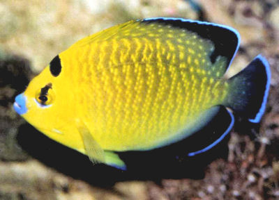 Goldflake Angelfish Apolemichthys xanthopunctatu, Gold-spangled Angelfish, Goldspotted Angelfish, Gold-Speckled Angelfish