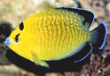 Click for more info on Goldflake Angelfish
