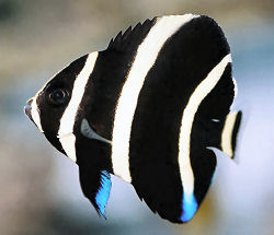 Picture of a juvenile Gray Angelfish