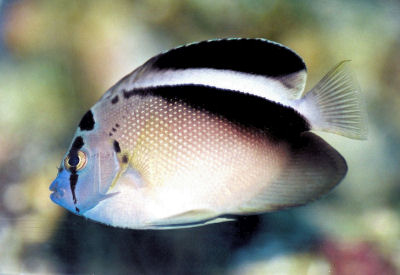 Griffis' Angelfish, Apolemichthys griffisi, Griffis Angel Fish