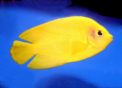 Herald's Angelfish, Centropyge heraldi, Yellow Angelfish, False Lemonpeel Angel, Yellow Pygmy Angel