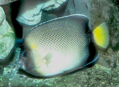 Indian Yellowtail Angelfish, Apolemichthys xanthurus, Cream Angelfish, Smoke Angelfish