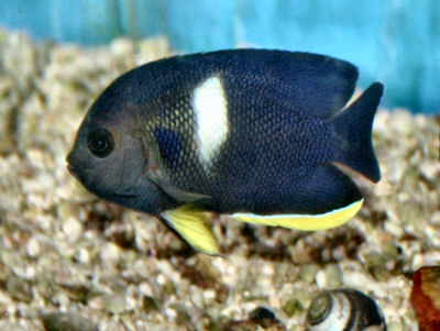 Keyhole Angelfish, Centropyge tibicen, also called Tibicen Angelfish or Melas Angelfish
