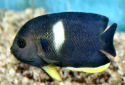 Animal-World info on Keyhole Angelfish