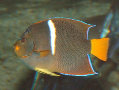 King Angelfish, Holacanthus passer, Passer Angelfish, Whitebanded Angelfish