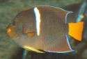 King Angelfish Fact Sheet