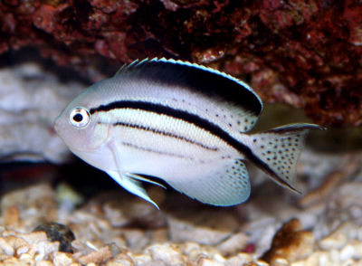 Lamarck's Angelfish Genicanthus lamarck, Blackstriped Angelfish, Freckletail Lyretail Angelfish