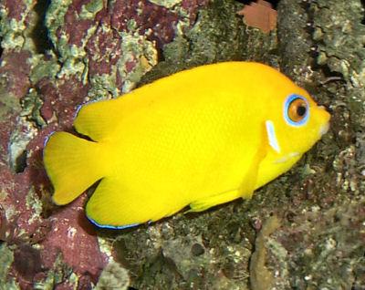 Lemonpeel Angelfish, Centropyge flavissimus, Lemonpeel Dwarf Angelfish, Lemon Peel Angel
