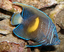 Red Sea Angelfish Pomacanthus maculosus, juvenile changing to an adult