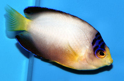 Multicolor Angelfish, Centropyge multicolor, Multicolor Pygmy Angel, Pastel Pygmy Angelfish