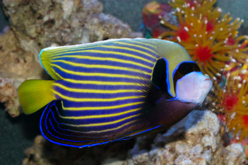 Emperor Angelfish (adult), Pomacanthus imperator, Imperator Angelfish, Imperial Angelfish
