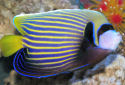 Animal-World info on Emperor Angelfish