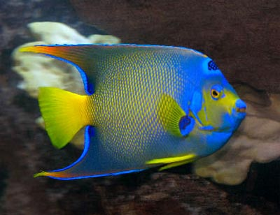 Saltwater Angelfish Guides, Queen Angelfish Holacanthus ciliaris