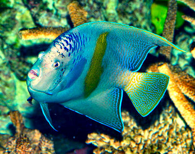 Red Sea Angelfish, Pomacanthus maculosus, Yellowbar Angelfish, Half Moon Angelfish, Map Angelfish