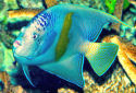 Red Sea Angelfish Fact Sheet