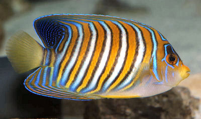 Regal Angelfish, Pygoplites diacanthus, Royal Angelfish, Empress Angelfish, Blue Banded Angelfish
