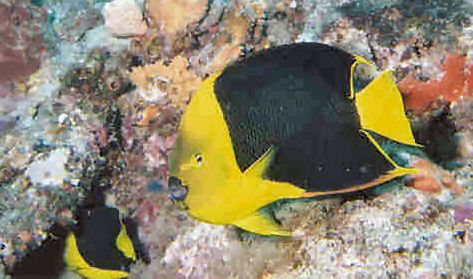 Rock Beauty Angelfish, Holacanthus tricolor, Yellow Nanny Angelfish, Corn Sugar Angelfish